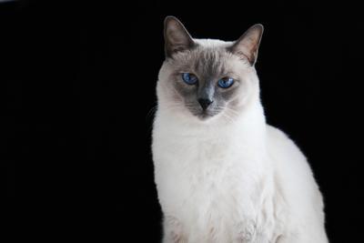 Таец тайский кот