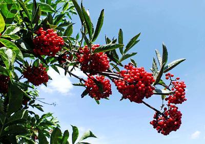Ветка бузины лето ягоды бузина