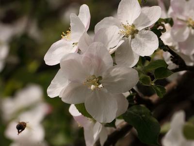 первый яблоневый сбор яблони цвет весна