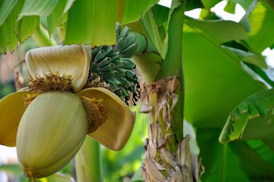 бананы..) природа, деревья, плоды, бананы