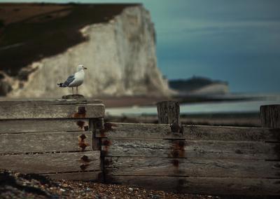 Семь сестер (Seven Sisters) Великобритания чайка берег скалы