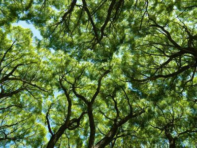 Ивы Сибирь ива крона кроны деревьев деревья зелень лето сочное Lunnika-Horo Siberia nature tree branches green summer