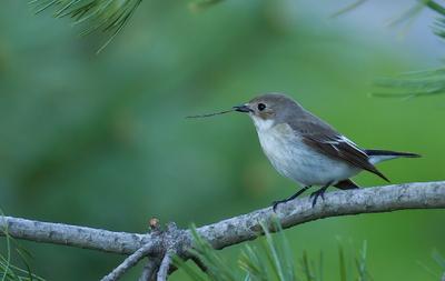 Мухолов птицы , мухоловка