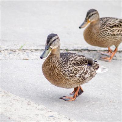 Mr. and Mrs. Duck утки репортаж путешествия