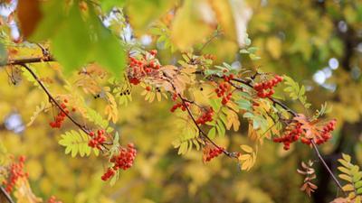 Рябины красные кисти рябина осень желтые листья