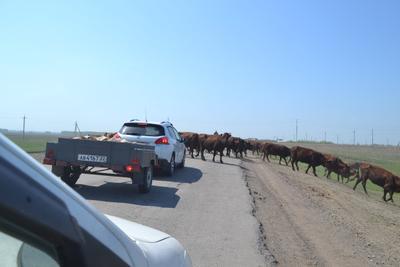 ***Хочешь проблем? Попробуй не пропусти ... коровы дорога Алтайский край