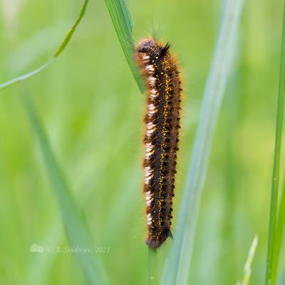 Шелкопряд травяной насекомое гусеница макро