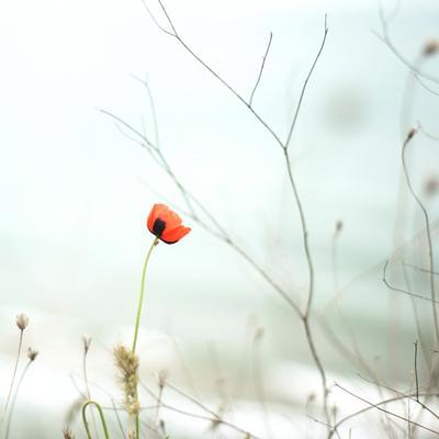 Первый майский мак мак цветы весна ветки