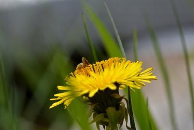За работой цветы пчелы макро