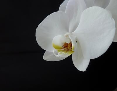 Орхидея орхидея цветок черный фон
