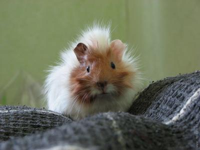 Свинтус свинки