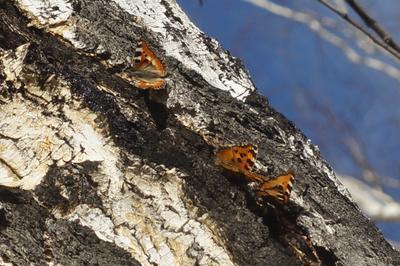Бабочки бабочки весна берёза лес