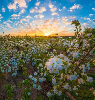 Яблони цветут! Лебедянский район Липецкая область сад цветение фруктовый рассвет облака яблони яблоня деревья агроном садовое сельское хозяйство