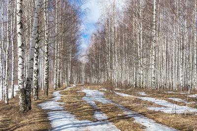 Березовая роща Березовая роща деревья весна