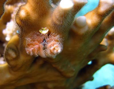 Червь рождественское дерево червь, рождественское, дерево, spirobranchus, giganteus, tube-building, polychaete, многощетинковые, черви, полихеты, serpulidae