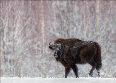 W A R R I O R Беларусь Красный бор зубры фотоохота зима let it snow воин warrior