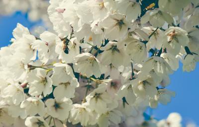 Сакура Сакура оса цветки