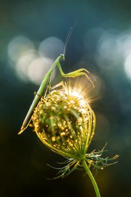 Хранитель утреннего света Богомол рассвет
