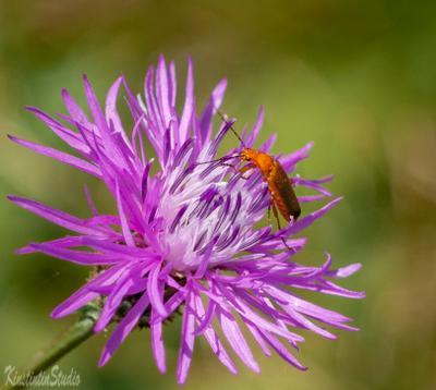 ***Цветок с тараканом...*** Цветок таракан лето август