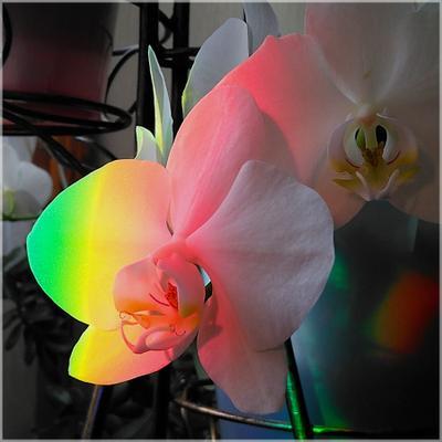 Радужная орхидея утро солнце лучик цветок орхидея радуга красота
