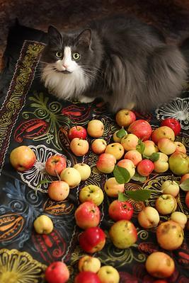 урожай кот яблоки натюрморт
