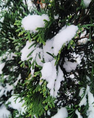 Лесная сказка первый снег туи туя