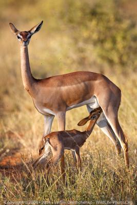 Жирафовая газель жирафовая газель теленок самбуру онищенко фото сафари кения