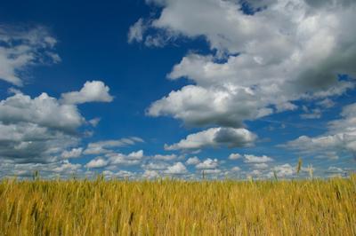 *** ленинградская область русская нива пшеница