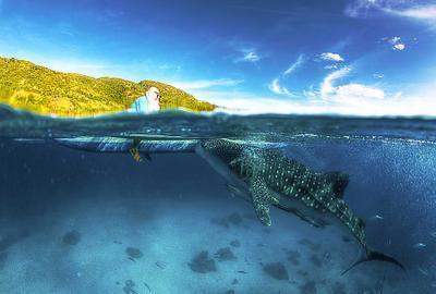 Whale shark and feeder