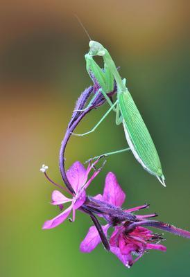 Mantis religiosa Mantis religiosa