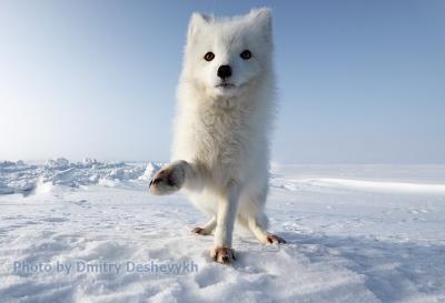 Это песец! polar fox, wildlife. Arctic,  Kolguev Island, Barents Sea