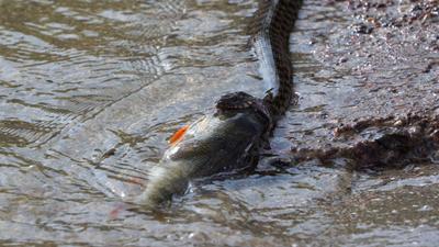 Сожрет? Рыба Змея Уж Вода