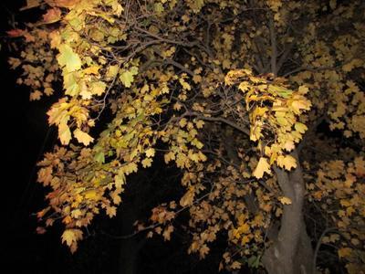 Осенний клен осень клен природа
