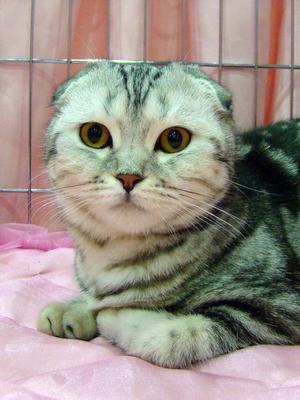 Красавица вислоухая кошка