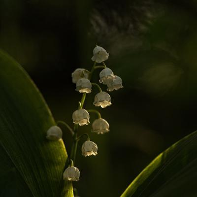 вечерний ландыш) весна вечер первоцветы ландыш природа