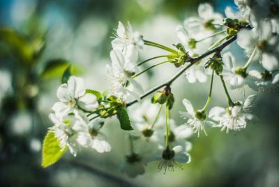 Весна весна цветы слива