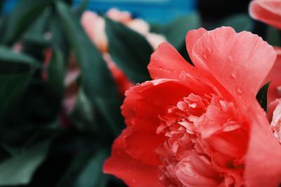 *** цветы пион