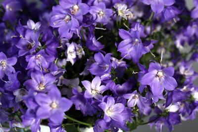 Кампанула цветы кампанула