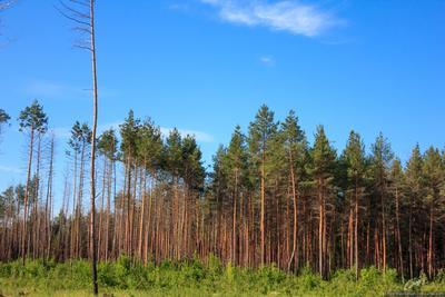 Лес после пожаров лес деревья Рязанская обл