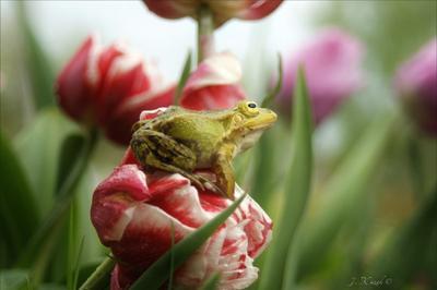 Лягушка и тюльпаны. природа животные фауна флора