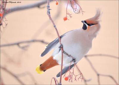 *** птица, свиристель, зима, wildlife