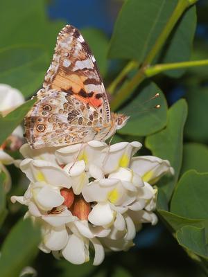Репейница (Vanessa cardui L.) и белая акация