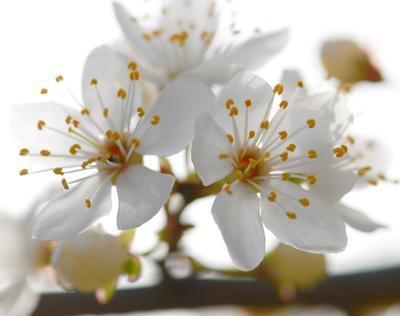 *** цветы слива весна март