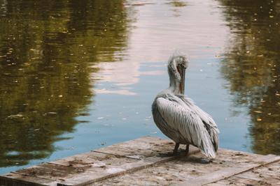 Пеликан Пеликан вода лес