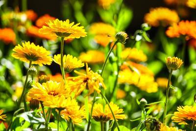 *** цветы природа желтый