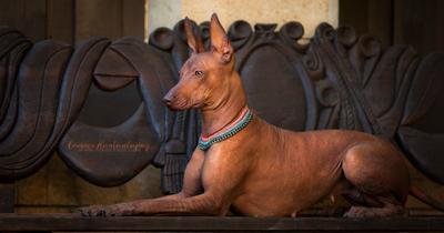 Геммочка собака перуанская голая данте ксоло лысые собаки Гемма