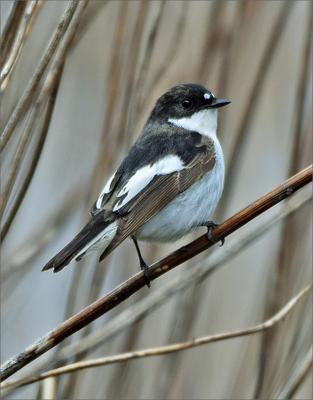 мухоловка самец птица Польша мухоловка весна Бытом