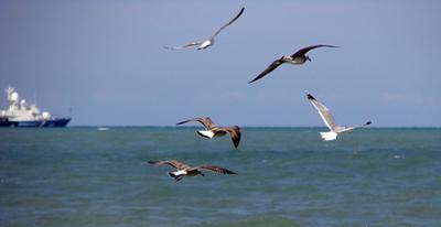 *** чайки, море, птицы