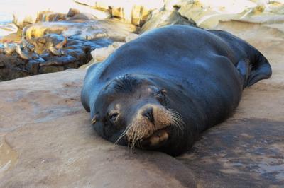 Отдыхаю La Jolla San Diego морские котики
