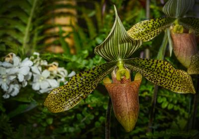 Венерин башмачок Орхидеи